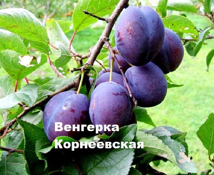 Слива сорта Венгерка Корнеевская