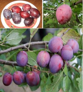 Плоды Венгерки московской