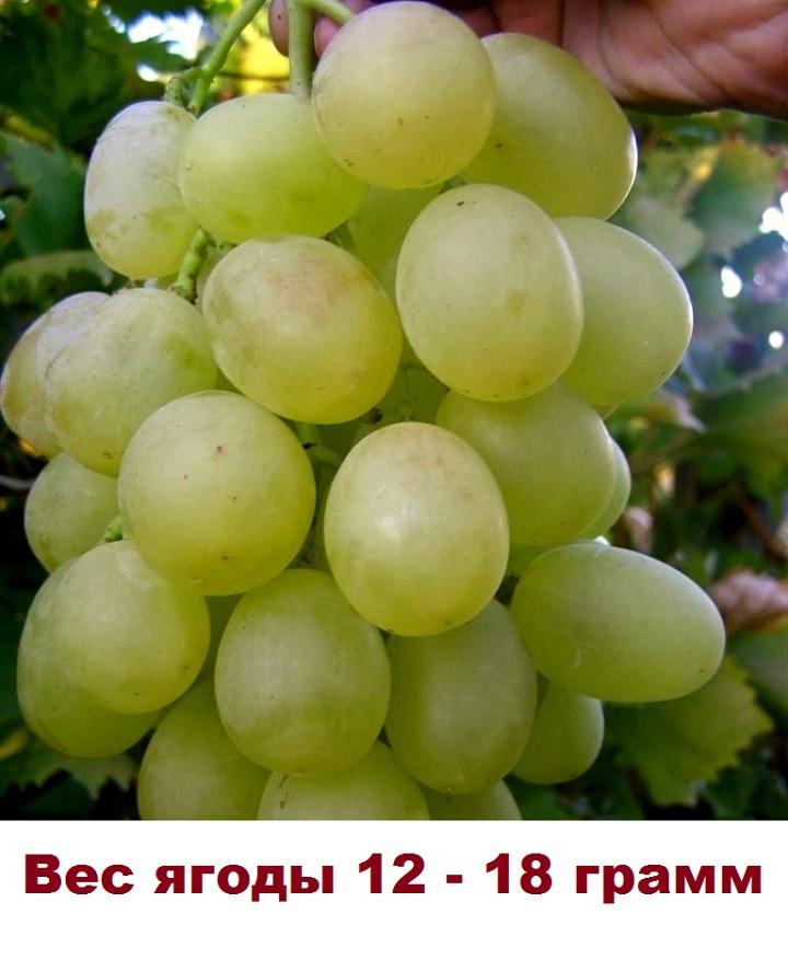 Ягоды винограда Антоний Великий