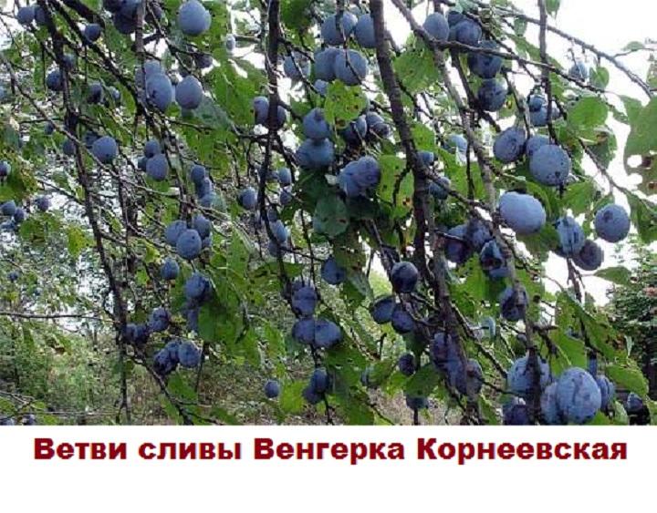 Дерево Венгерки