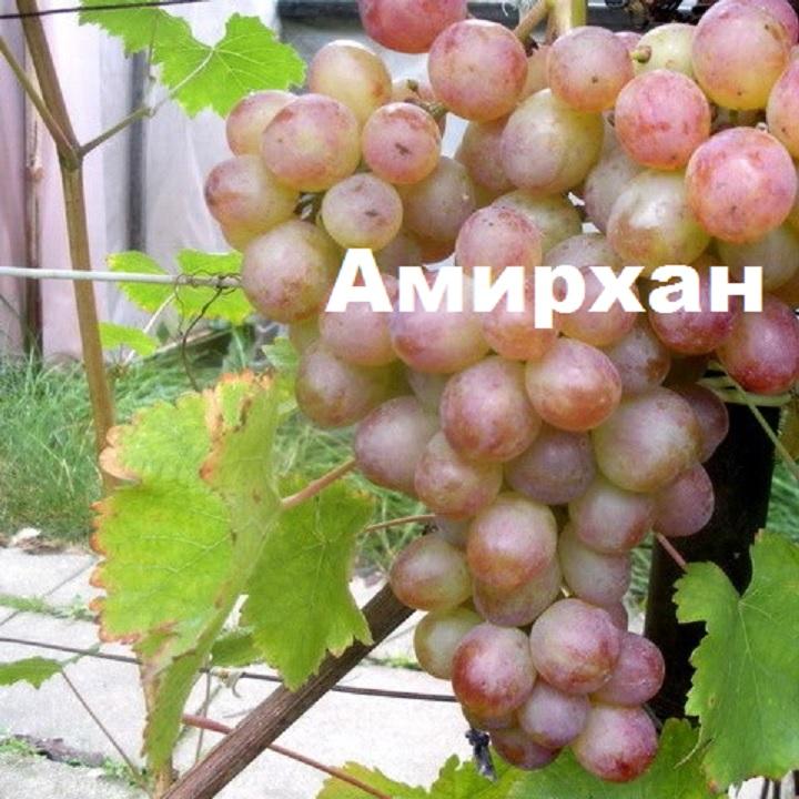 Гроздь винограда сорта Амирхан