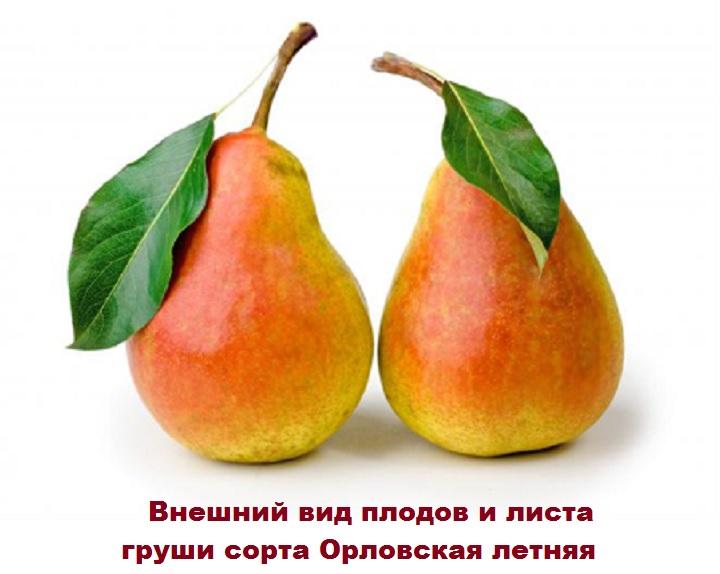 Красавицы-груши Орловская летняя