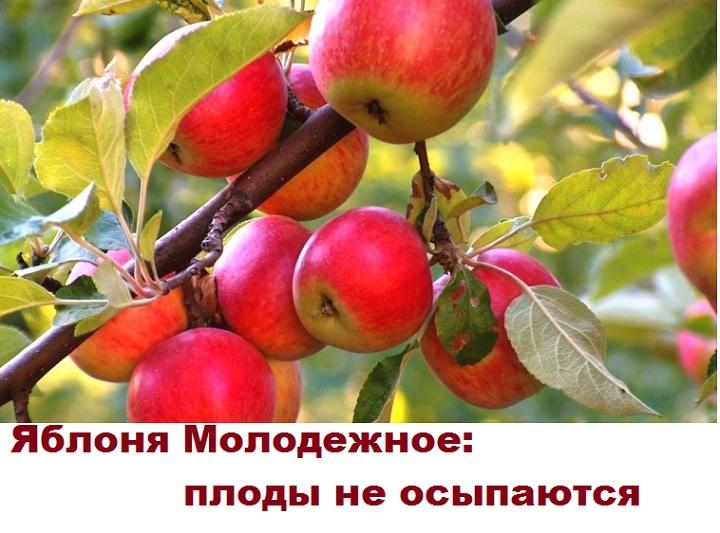 Плоды крепко держатся на ветке