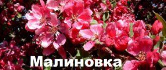 Цветы яблони Малиновка