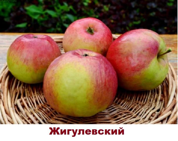 Сорт яблони Жигулевский