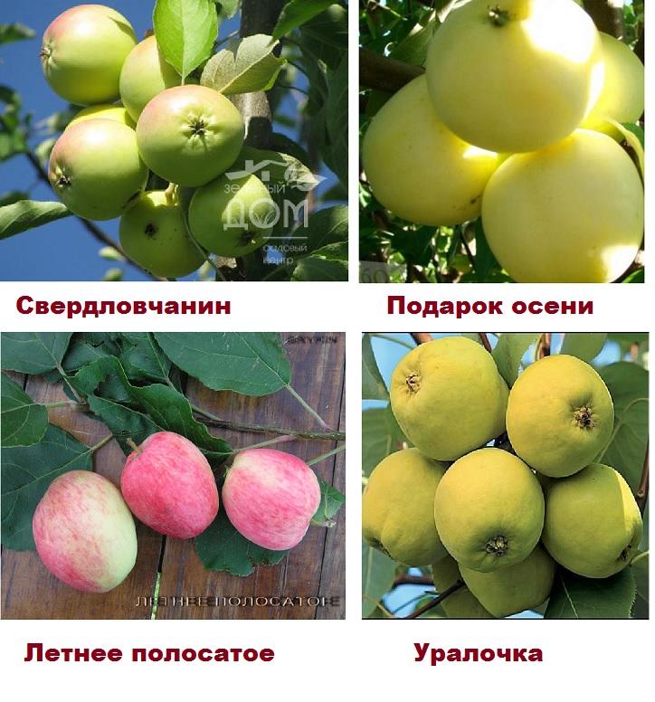 4 сорта Зимостойких сортов яблонь Урала