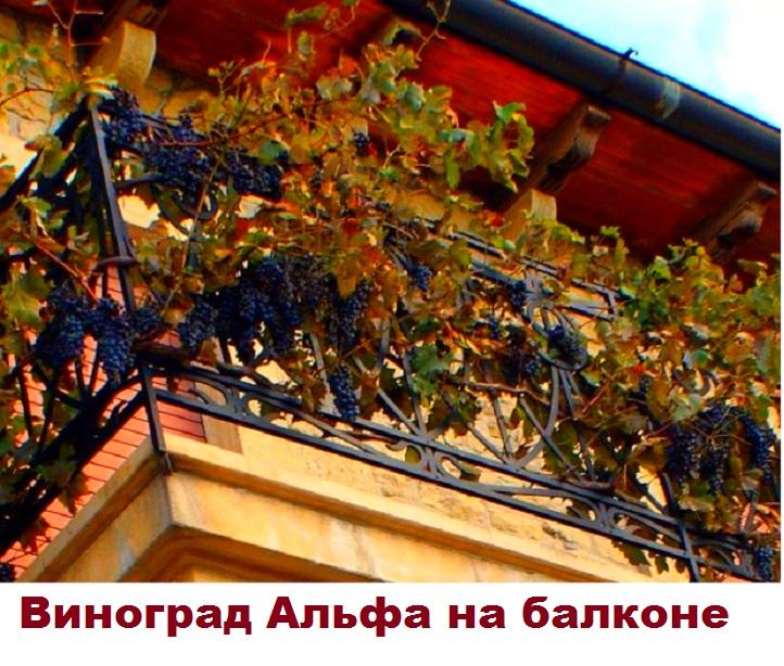 Выращивание Альфы на балконе