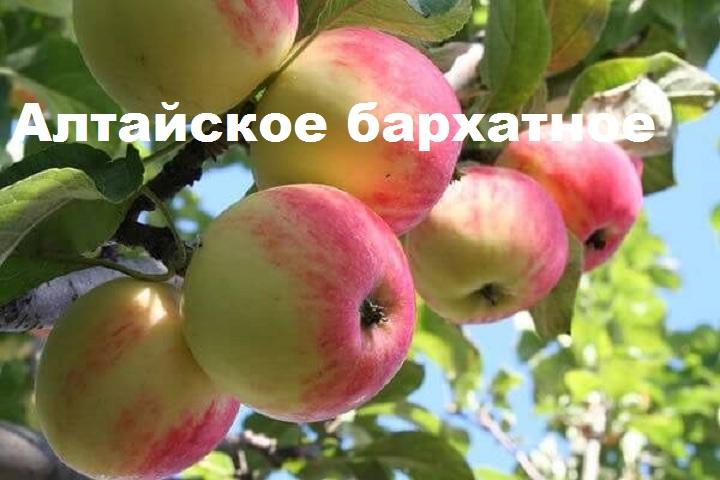 Яблоня сорта алтайское бархатное