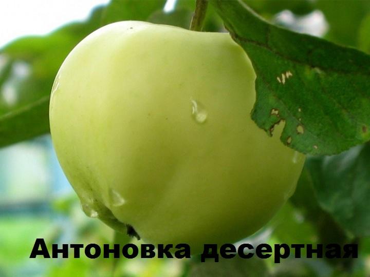 Яблоко сорта Антоновка десертная