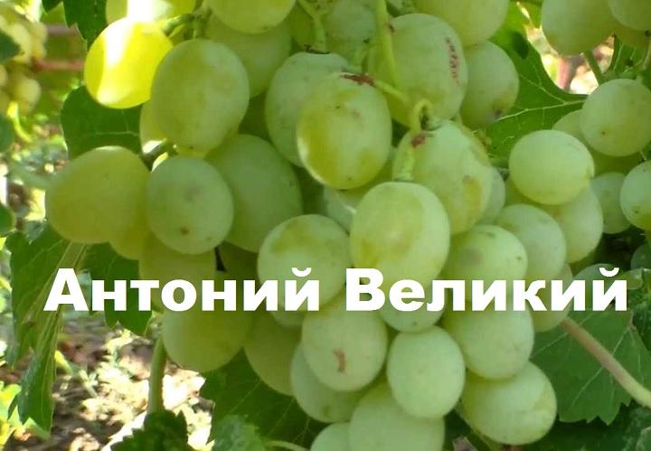Гроздь винограда Антоний Великий
