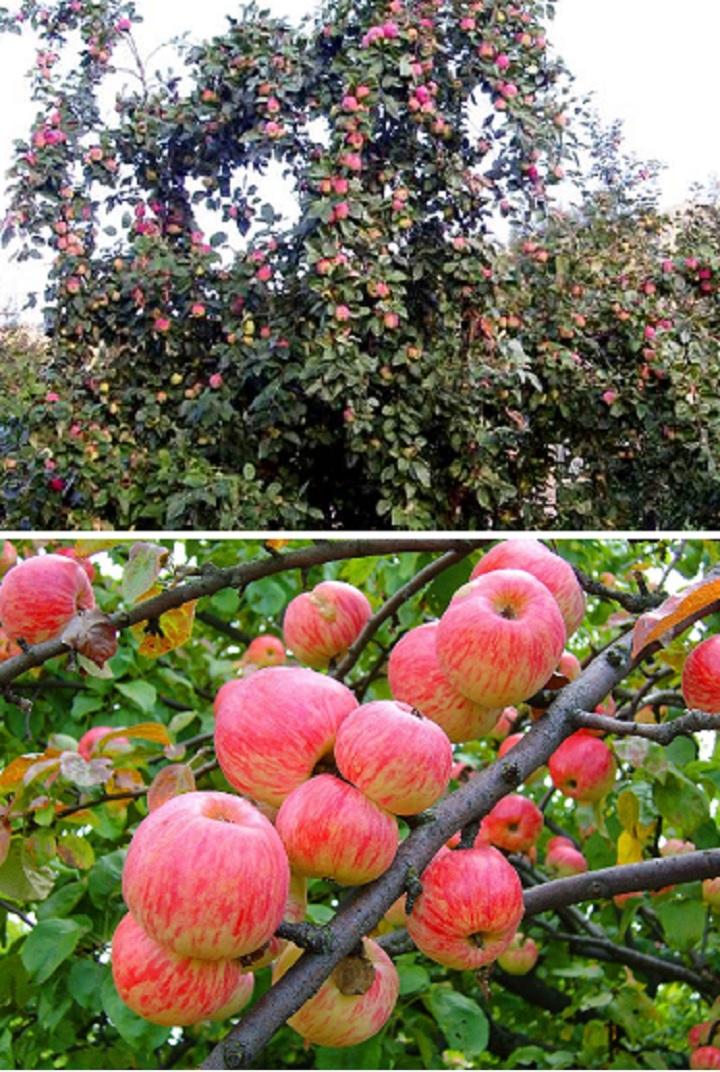 Мельба. Дерево и плоды на ветви