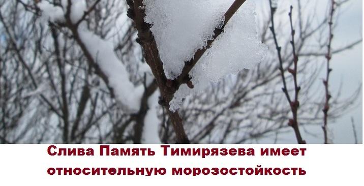 Слива зимой