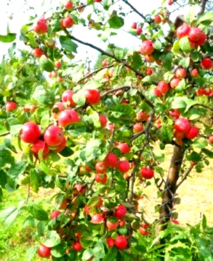 Дерево сорта яблонь Алтынай