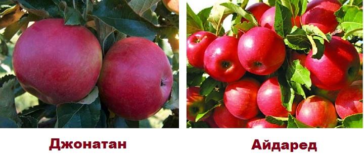 Красные сорта яблонь