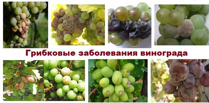 Заболевания винограда. Гниль