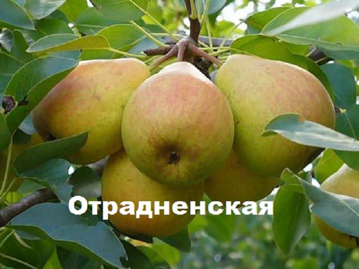 Плоды груши сорта Отрадненская