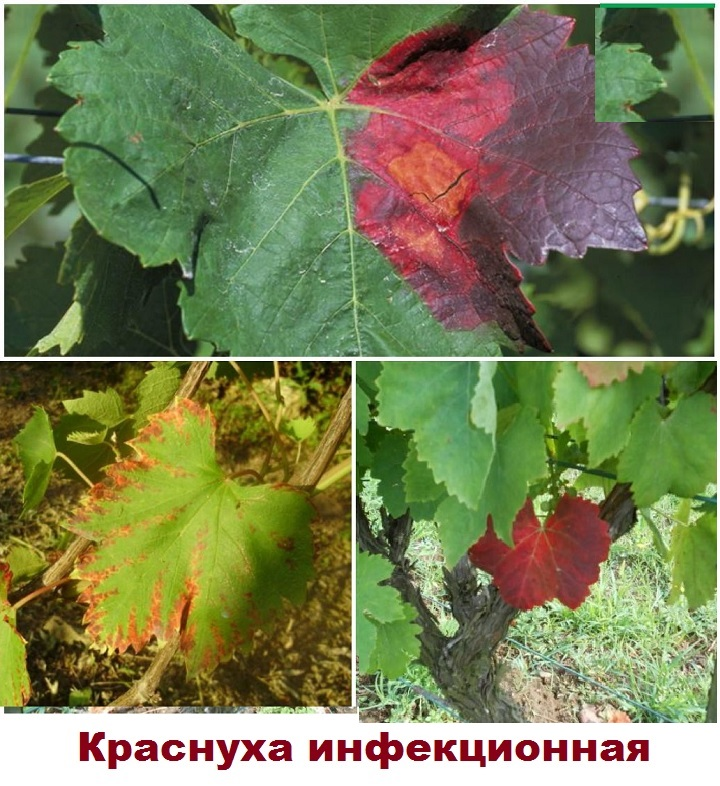 Виноград, пораженный грибком краснухи