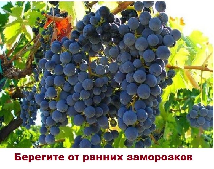 Гроздья винограда Кардинал