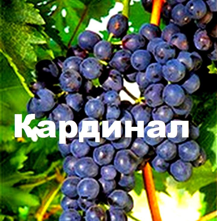 Виноград сорта Кардинал
