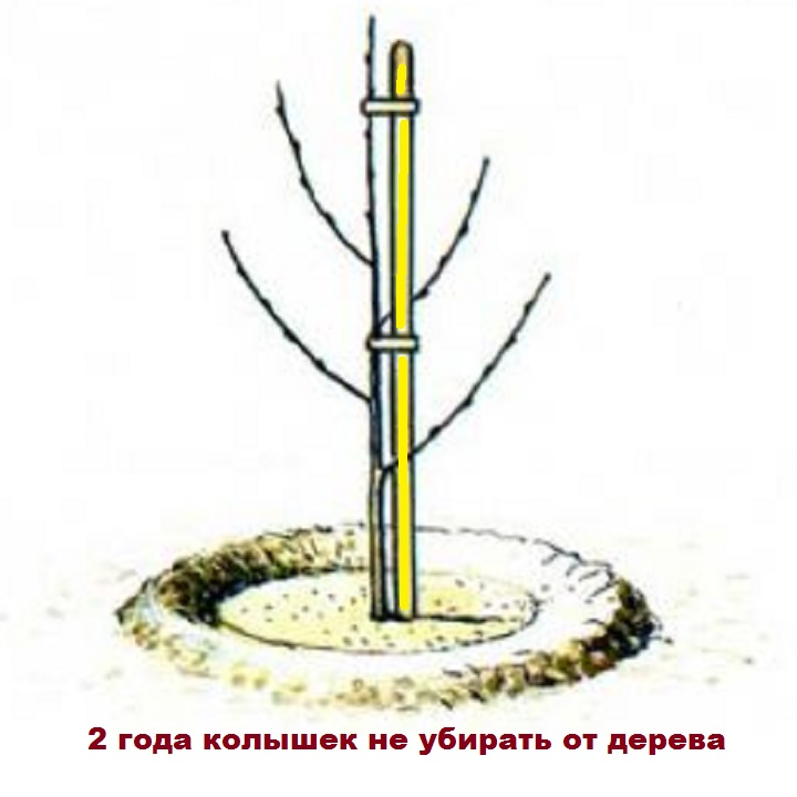 Схема привязки колышка к молодому дереву
