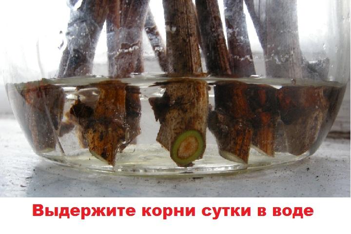 Выдерживание корней в воде
