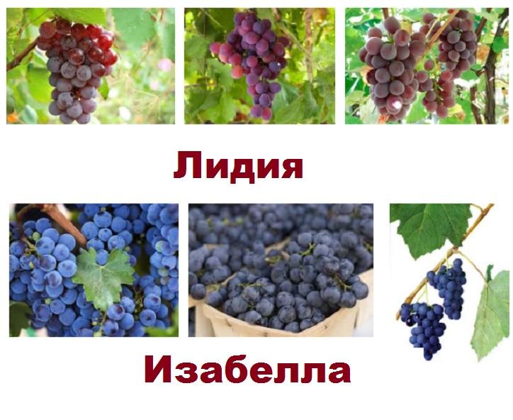 Виноград сортов Лидия и Изабелла