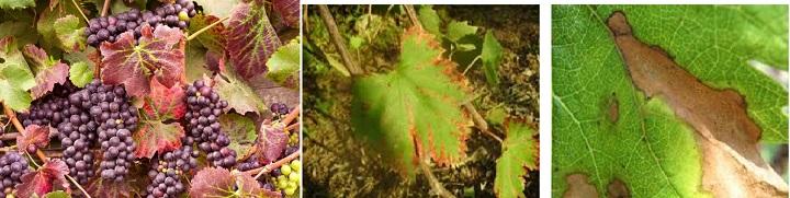 Виноград, пораженный краснухой