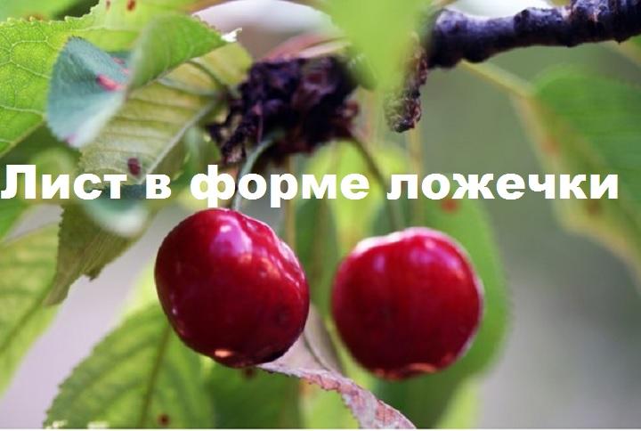 Форма листа вишни Надежда