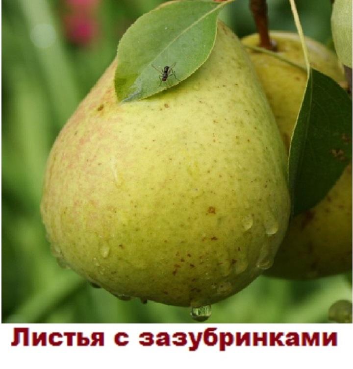 Внешний вид плода и листьев груши Светлянки