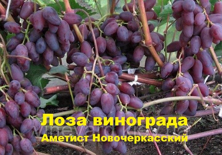 Лоза аметиста новочеркасского