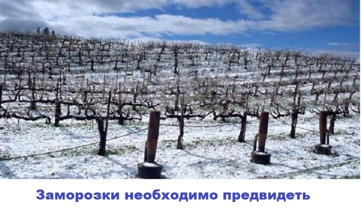 Защитите от заморозков свой виноград