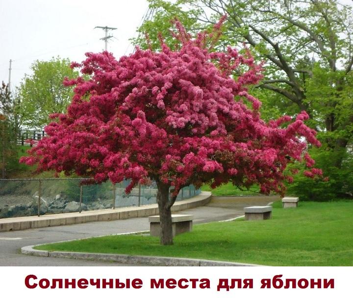 Цветущее дерево яблони