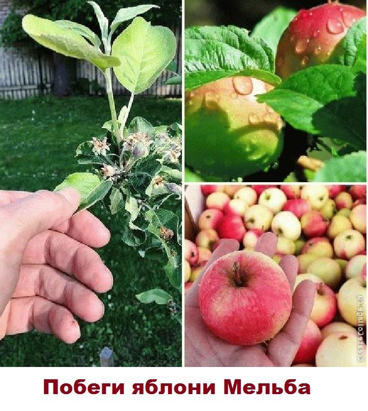 Побеги и плоды яблони Мельба