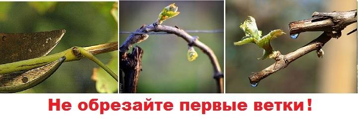 Первые ростки винограда