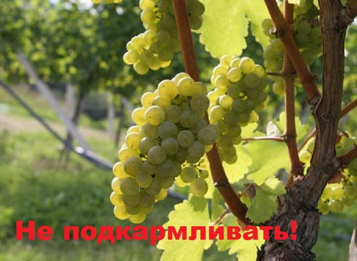 Кусты с плодами не удобрять