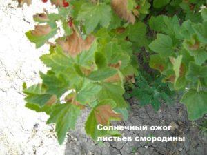 Листья смородины с ожогом