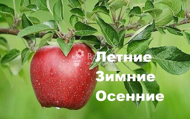 Категории сортов яблони
