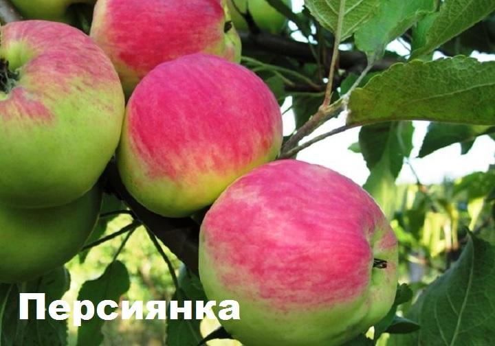 Яблоня сорта персиянка
