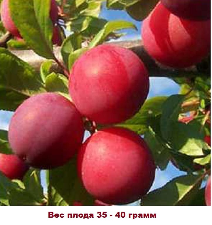 Вес плода Ренклод