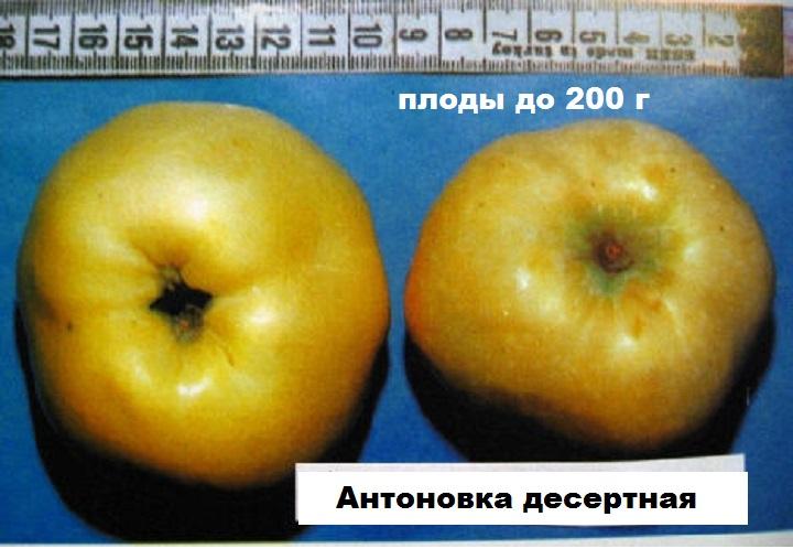 Антоновка десертная. Размеры плода