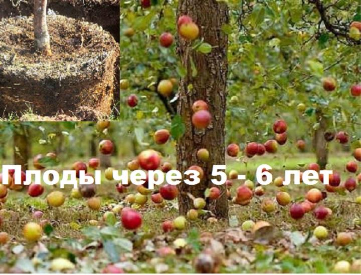 Плодоношение после высадки яблони