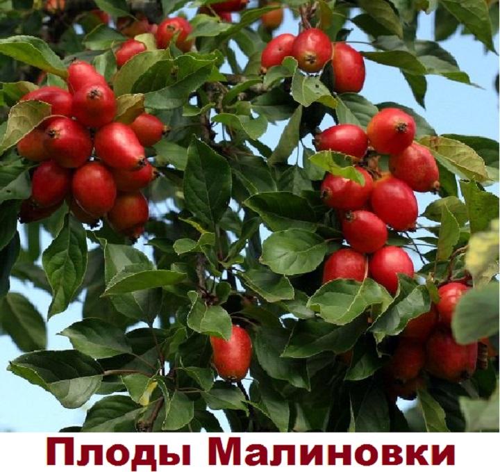 Продолговатые красные яблоки