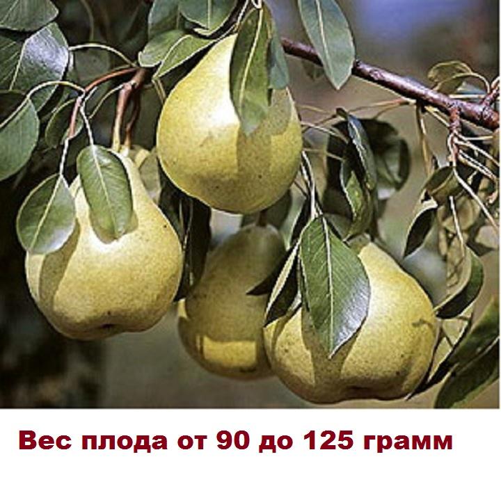 Плоды груши Светлянка