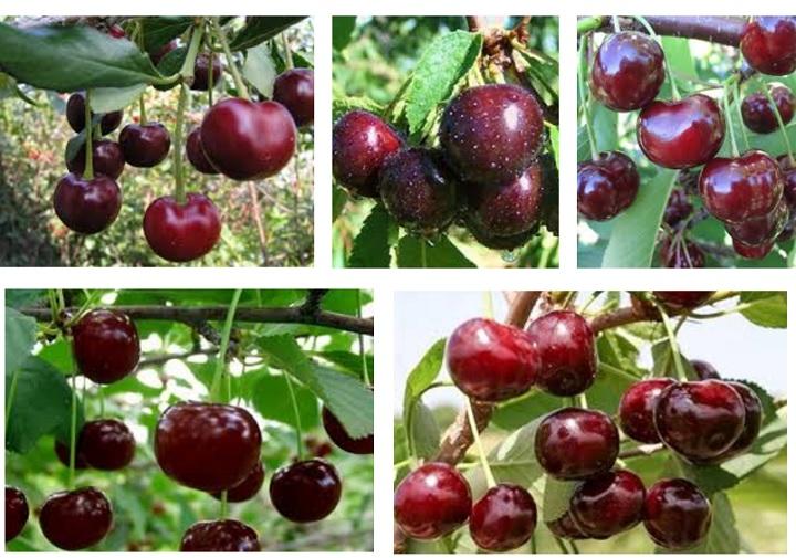 Плоды вишни Надежда. Фото пользователей