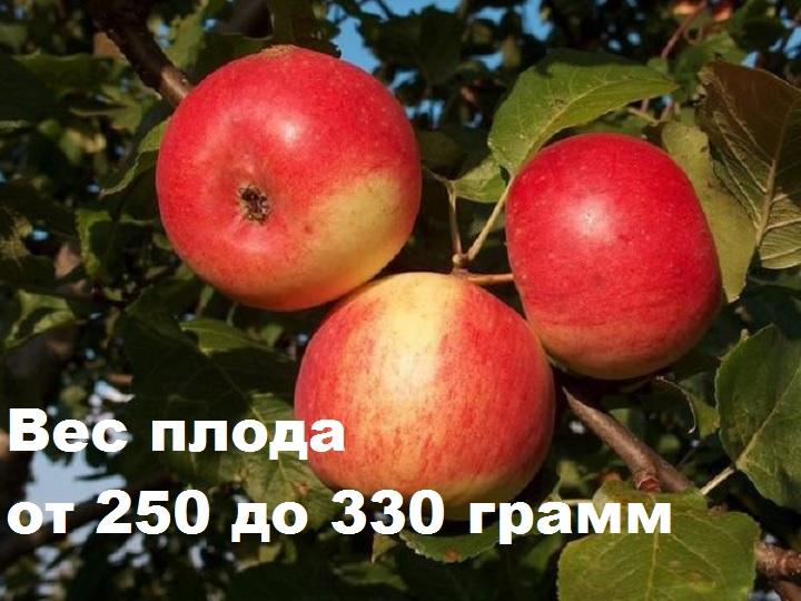 Масса плода яблони Скала