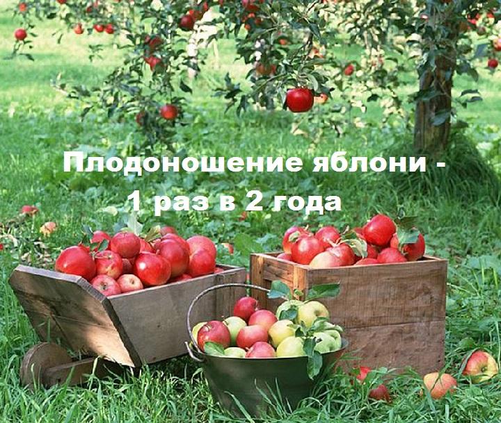 Урожайность яблони