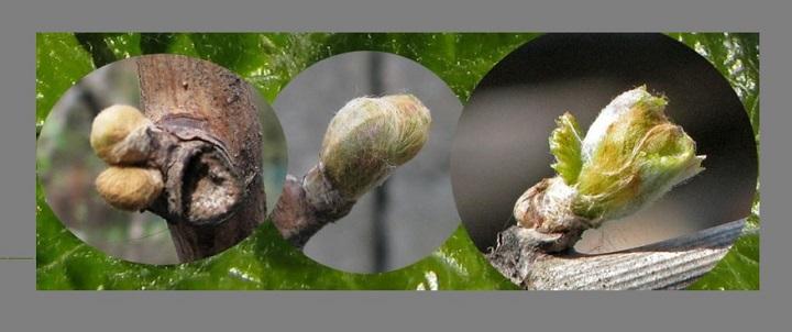 Изменение почки виноградной лозы