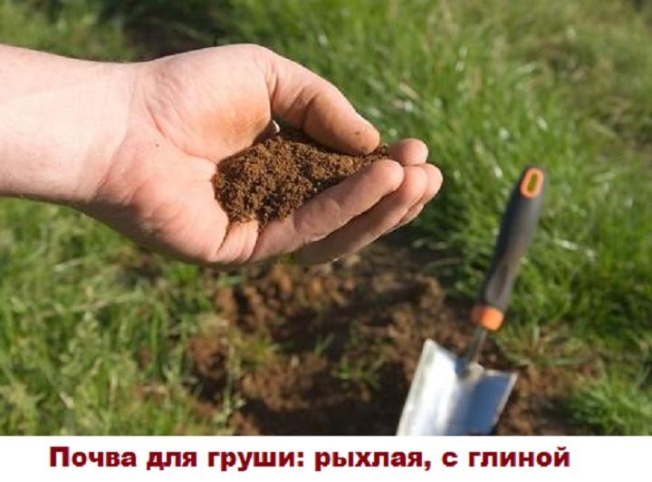 Выбор почвы для груши