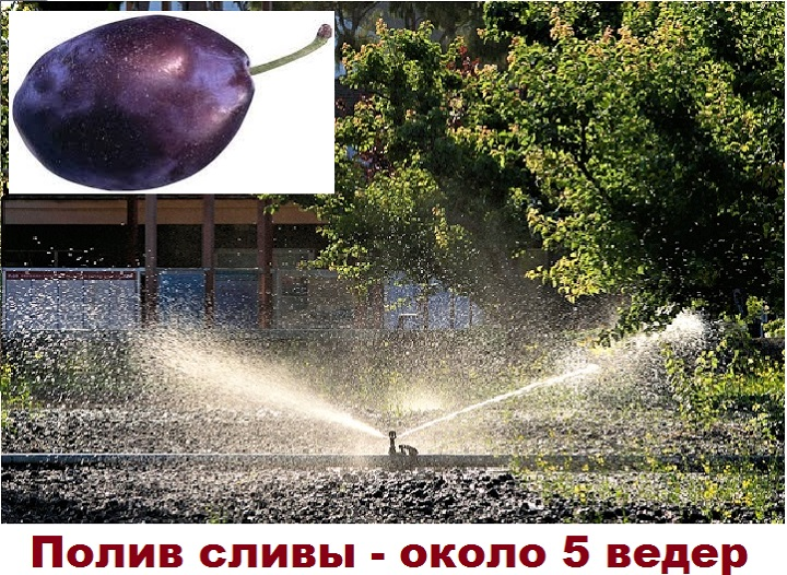 5 ведер требует слива до цветения