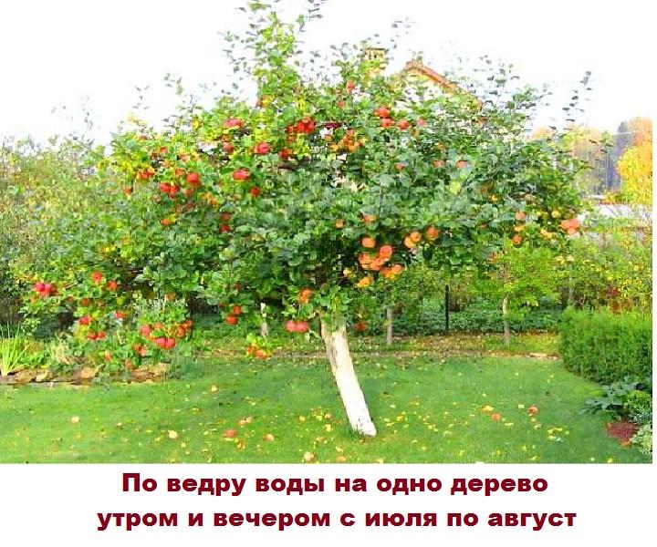 Рецепт полива яблони